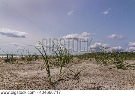 Dune Grass Begins To Grow Along The Beach After A Restoration After A Beach Restoration Project In E