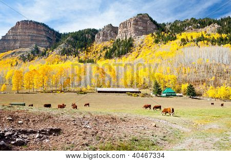 Cattle Grazing In Colorado