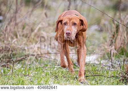 Hungarian Shorthaired Vizsla Pointing Dog In The Forest