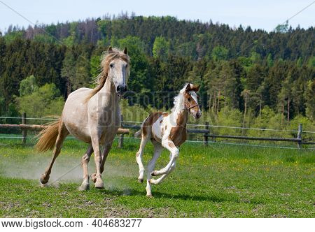 A Mare With A Foal Runs In A Paddock In A Meadow