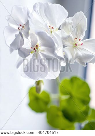 Delicate White Geranium Flower Growing In A Pot On The Windowsill