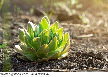 Green Succulent Wild Perennial Plant, Sempervivum Tectorum Or Stone Rose, Grows In Ground Under Sunl