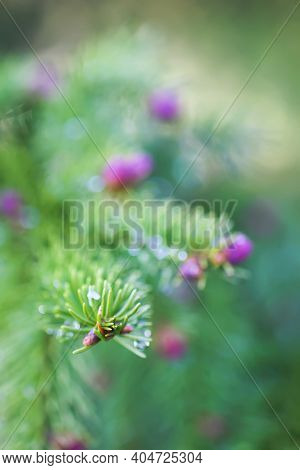 Fir Tree Branches With A Young Soft Cones In April. Seasonal Nature Details.