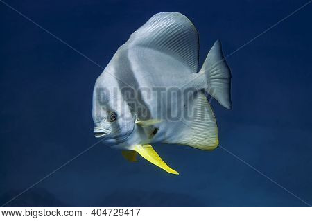 A Solitary Tall-fin Batfish  With A High Dorsal Fin And Bright Yellow Ventral Fins. On A Flat, Broad