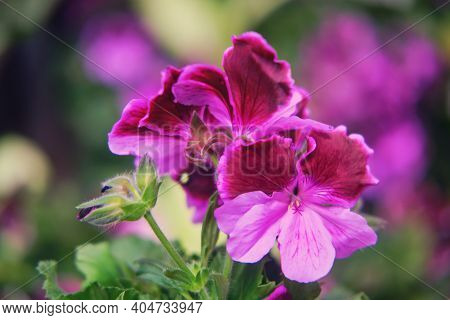 Pelargonium Grandiflora Violet, A Genus Of Plants In The Geraniaceae Family.