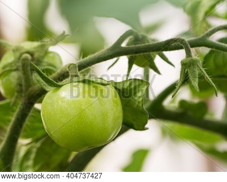 Green Tomato Growing On Twig In A Greenhouse