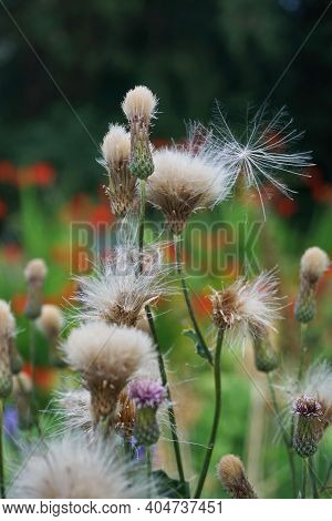 Creeping Thistle Is A Perennial Species Of Flowering Plant . Picture 1.   It Is Also Commonly Known