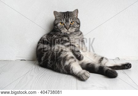 A Funny Whisker Cat Portrait Sitting Against The Wall. The Cat Looks In The Eyes.
