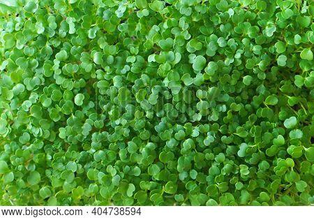 Microgreens Arugula Background Texture. Arugula Sprouts Closeup.