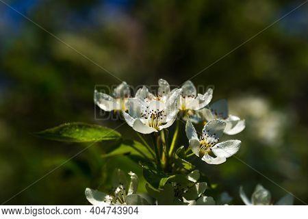 Flowering Pear. White Flowers Of Pear. Spring. Pear. Flowering Pear Tree.