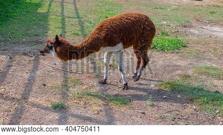 Alpaca Animal, Alpaca In The Meadow. The Alpaca Grazes In The Meadow.