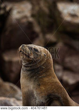 Portrait Of South American Fur Seal Arctocephalus Australis Sea Lion Marine Wildlife Mammal Islas Ba