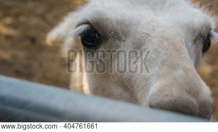 Antelope Looks Close-up Into The Camera Lens, Wild Animal, Antelope's Face.