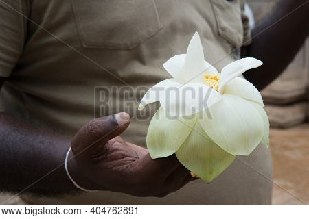 Asiatic Man's Hand Carrying A White Lotus Flower As An Offering In Sri Lanka