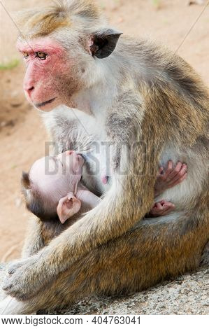 Portrait Of Adult Female Monkey With Red Face And Baby During Breast Feeding. Macaca Sinica, Protect