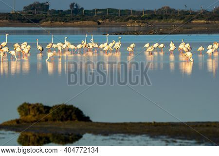 A Flamingo Colony In The Waters Of The Bay Of Cadiz Nature Park In Southern Spain