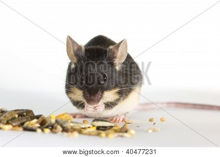 Cute Pet Mouse Feeding