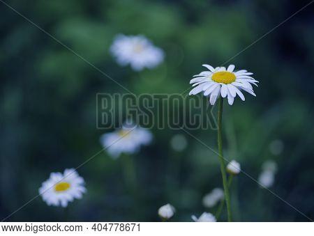 Delicate Flower Of White Wild Chamomile On A Green Background. Matricaria Chamomilla Or Matricaria R