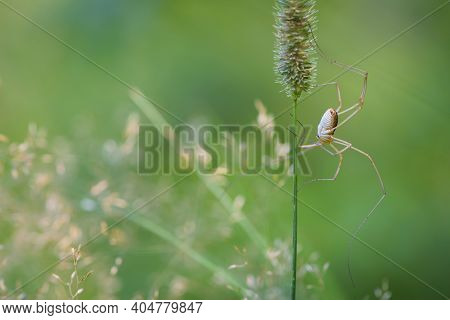 Pholcus Phalangioides. Spider Pholcidae Sits On A Thorn Of Grass On A Green Background. Spider Outsi