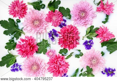 Pink Chrysanthemum Flowers And Green Leaves Floating In Milk Water Bath. Organic Floral Skin Care An