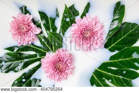 Three Pink Chrysanthemum Or Mums Flowers And Green Leaves Floating In Milk Water Bath. Organic Skin