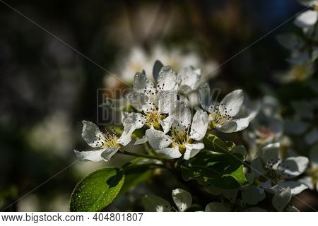 Flowering Branch Of Pear. Blooming Spring Garden. Flowers Pear Close-up. Blurred Background. Pear Bl