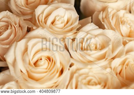 Soft Pink Beige Roses With Dew Drops. Soft Selective Focus. Close-up. Horizontal. For Greeting Card,
