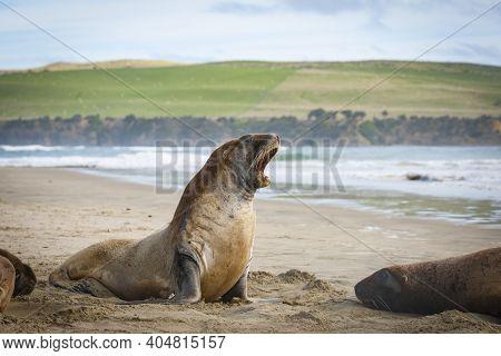 Nz Fur Seal Head Raised Barking  On Catlins Beach. South Island, New Zealand.