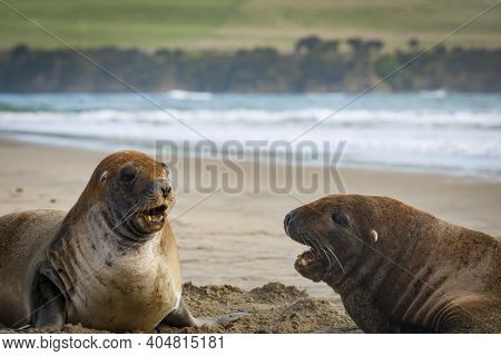 Nz Fur Seals Challenging On Catlins Beach. South Island, New Zealand.