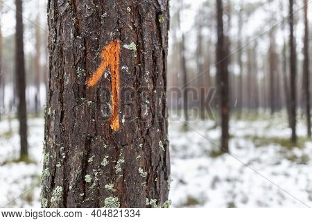 Digital Designation Painted On The Bark Of A Coniferous Tree. Signs Left By Forest Workers.