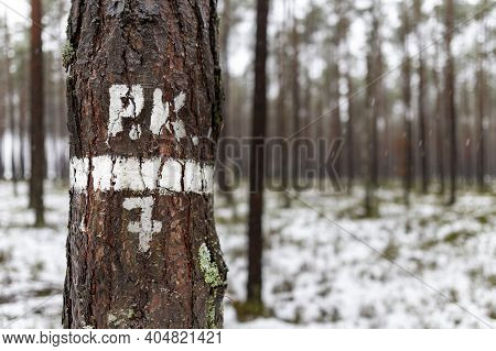 Digital And Letter Designation Painted On The Bark Of A Coniferous Tree. Signs Left By Forest Worker