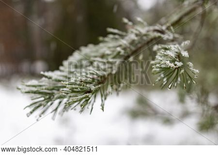 Pine Needles Covered With Wet Snow. Coniferous Tree Branches Covered With Snow Flakes.