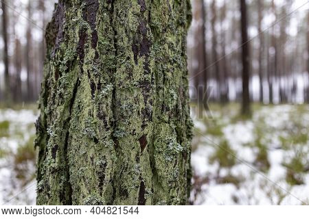 Pine Tree Trunk Growing In The Forest. The Bark Covering The Trunk Of A Coniferous Tree.