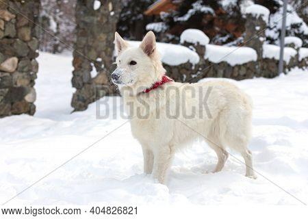White Swiss Shepherd Dog On The Snow, Winter Time
