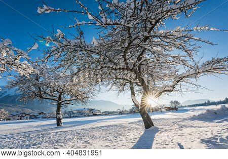Leafless Old Apple Trees Covered By Snow In Sunny Winter Landscape With Sun Star In Wildermieming, T