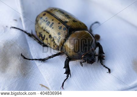 Female Eastern Hercules Beetle On A  White Handkerchief