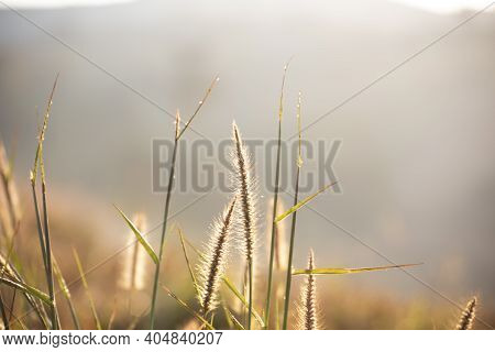 Natural Meadow Grass Slowly Swayed By Wind Blow. The Beautiful Green Swaying Grass Field Is Relaxing