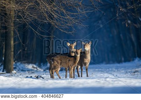 Close Three Young Majestic Red Deer In Winter Forest. Cute Wild Mammal In Natural Environment. Wildl