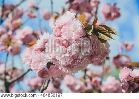 Blossoming Branch With Bloom Pink Flower Buds Of Cherry Or Sakura Tree On Blue Sky Background, Horiz