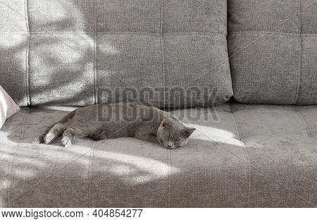 Young British Shorthair Cat Sleeping On A Grey Couch. Sunlight From The Window Creates A Shadow On T