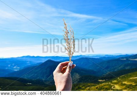 Dry Grass In The Woman's Hand Against The Background Of The Mountain Landscape And Blue Sky.