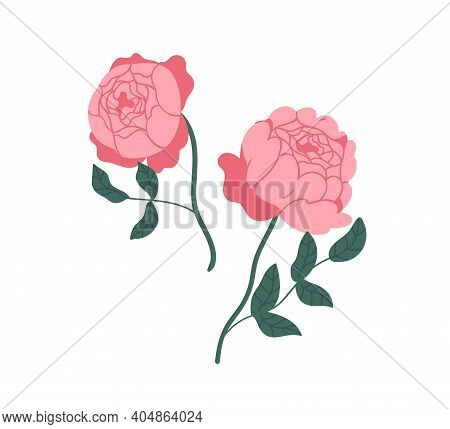 Two Elegant Pink Peony Roses. Gorgeous Blossomed Flowers With Lush Petals Isolated On White Backgrou
