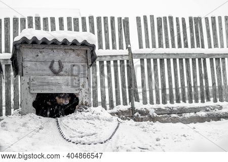 Mongrel Dog In A Doghouse On A Chain In Inclement Weather In The Snow.