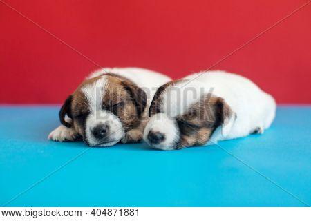 Little puppy sleep on blue background. Young dog studio shot