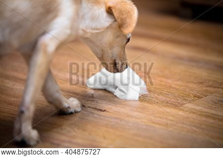 Puppy Dog Still Isn´t Housebroke, Whelp Smelling On Pee, Indoor And Kitchen Towel