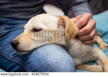Man Stroking A Puppy Dog On His Leg, Relaxing And Enjoying Whelp, Pet Loving