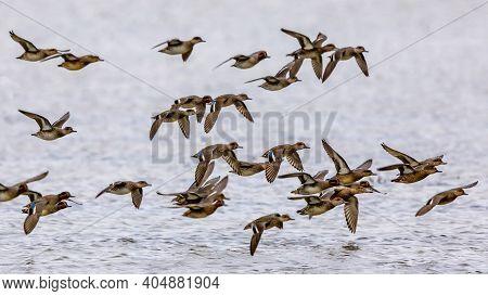 Flock Of Migrating Eurasian Teal (anas Crecca) Taking Off From Feeding Habitat In Lauwersmeer. Wildl