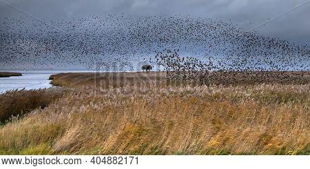 Huge Flock Of Migrating Birds European Starling (sturnus Vulgaris) Taking Off From Feeding Habitat I