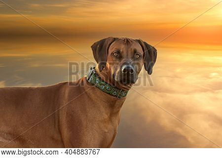 Rhodesian Ridgeback - Portrait Of The Head Of A Large Brown Dog. In The Background Is A Dramatic Sun