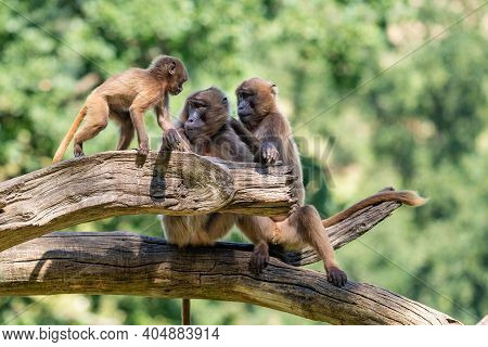 Two Adult And Young Gelada Baboon Monkeys Sitting On An Old Tree. The Background Is Green.